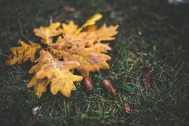 yellow oak leaf leaves autumn